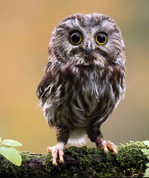 Saw Whet Owls.jpg
